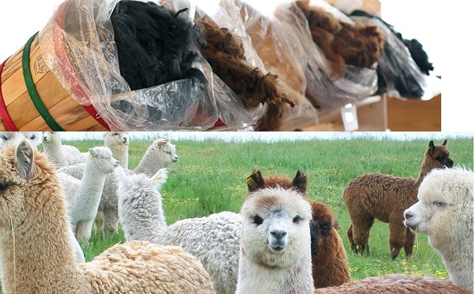 Alpaca Fleece Show at Creswick Woollen Mills